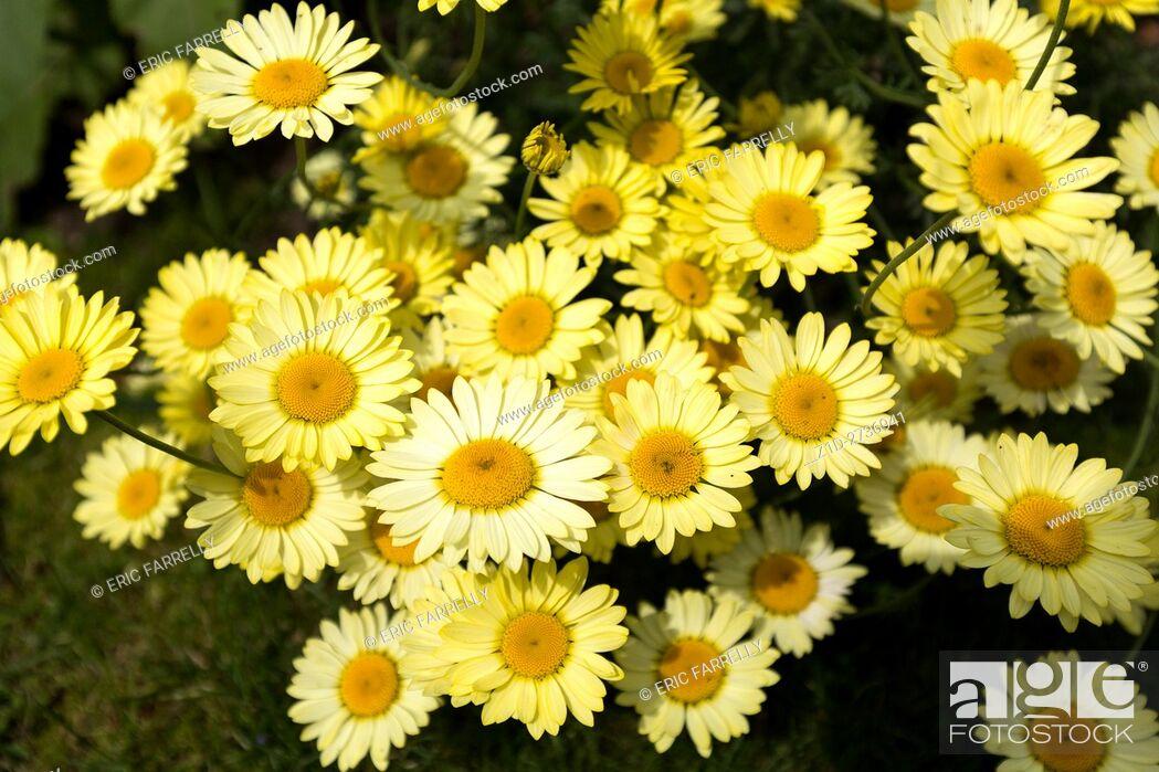 Stock Photo: Shasta daisy or Marguerite daisies, in garden. England UK. Latin name : Leucanthemum superbum, . Family name : Asteraceae/Compositae.