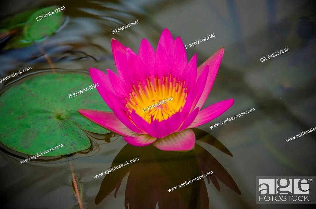 Stock Photo: Nymphaea-Hybrid. Nymphaeaceae family. Colorful water lilly in pond.