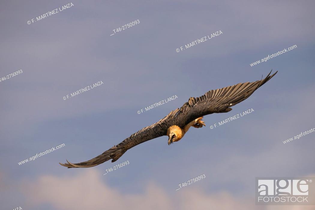 Imagen: Vulture (Gypaetus barbatus bearded vulture literally) .Fotografiado in the Pyrenees Leridano in Buseo.