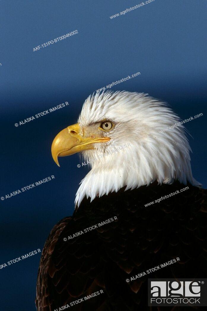 Stock Photo: Bald Eagle Portrait Kenai Peninsula Winter AK.