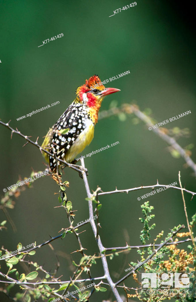 Stock Photo: Red-and-yellow Barbet (Trachyphonus erythrocephalus). Samburu National Reserve. Kenya.