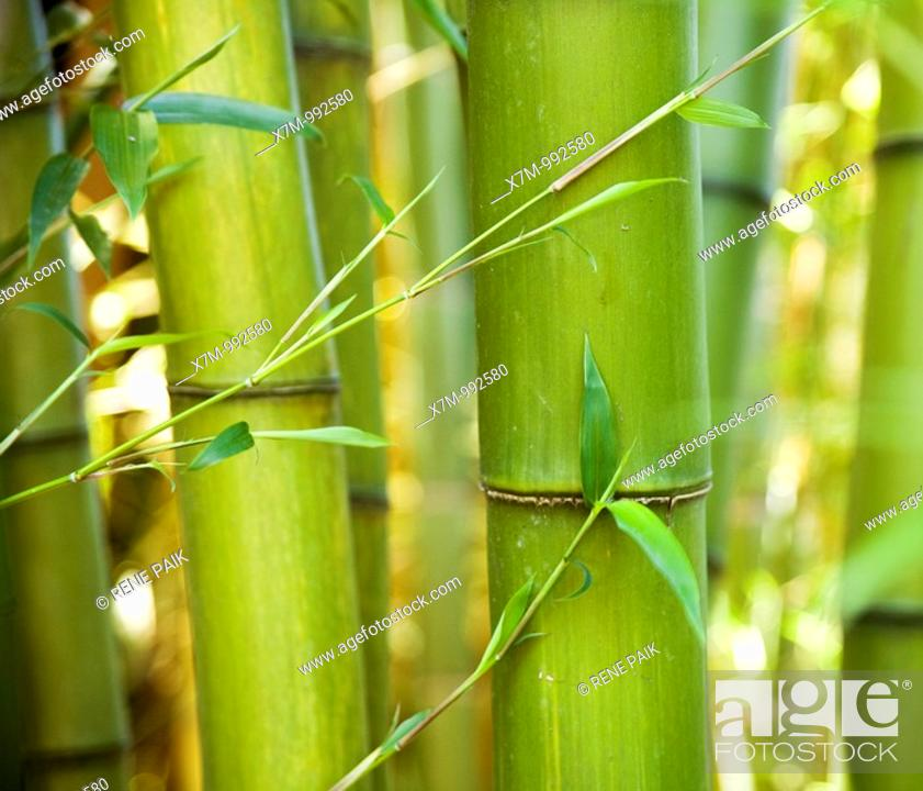Stock Photo: A grove of giant, green bamboo timbers with leaves.