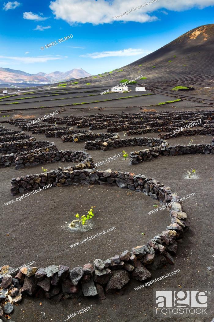 Stock Photo: Vines growing in volcanic lapilli. La Geria region. Lanzarote, Canary Islands, Atlantic Ocean, Spain.