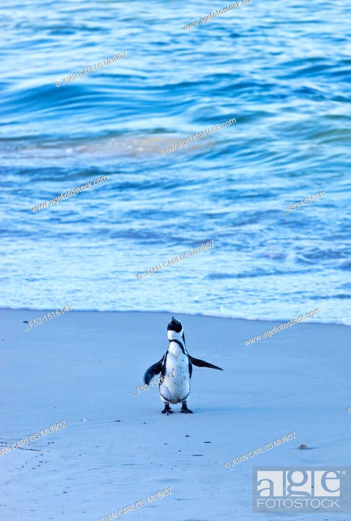 Stock Photo: AFRICAN PENGUIN, False Bay, South Africa, Africa.
