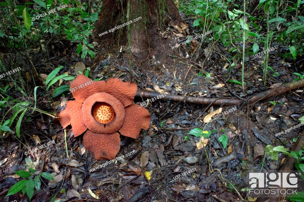 Imagen: World largest wild flower Rafflesia taken at Gunung Gading National Parks, Lundu, Sarawak, Malaysia.