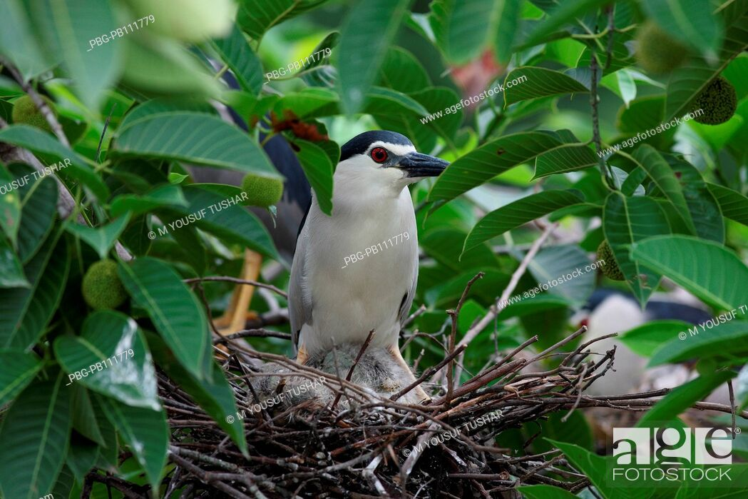Imagen: night heron, The Cattle Egret Bubulcus ibis locally known as go bok is a small white heron found near water-bodies, cultivated fields.