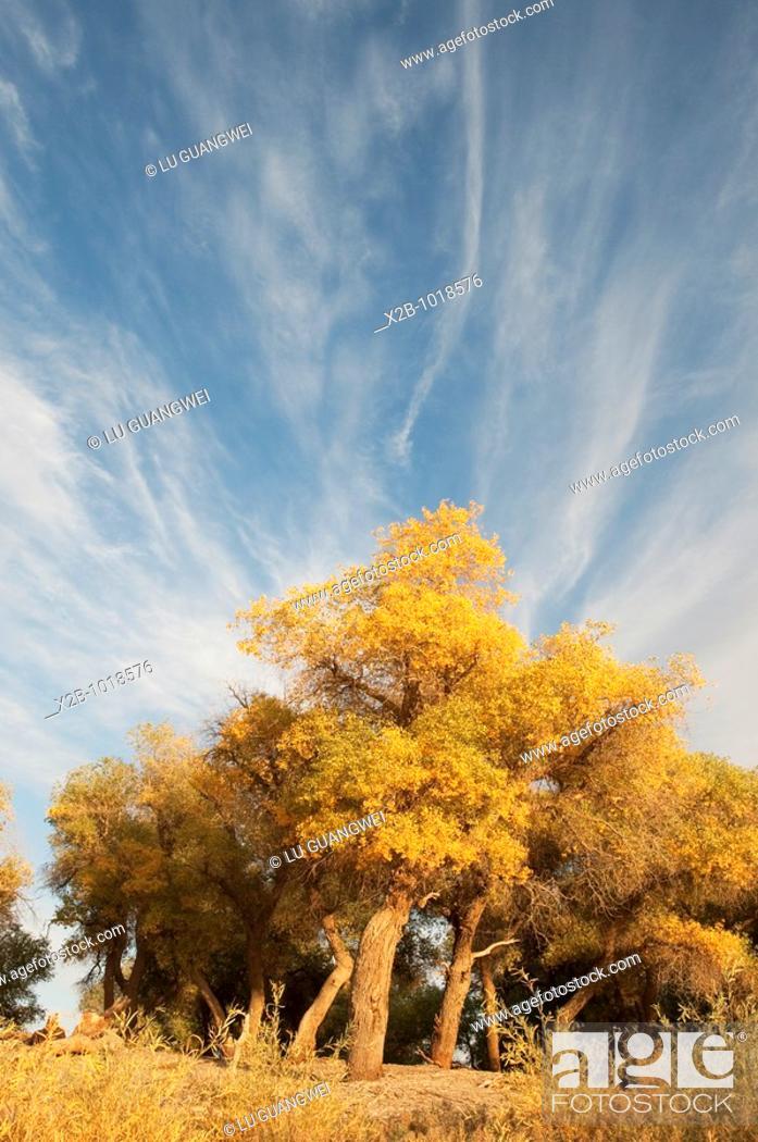 Stock Photo: In October 2009, China's Inner Mongolia Autonomous Region EJINAQI, Populus euphratica.