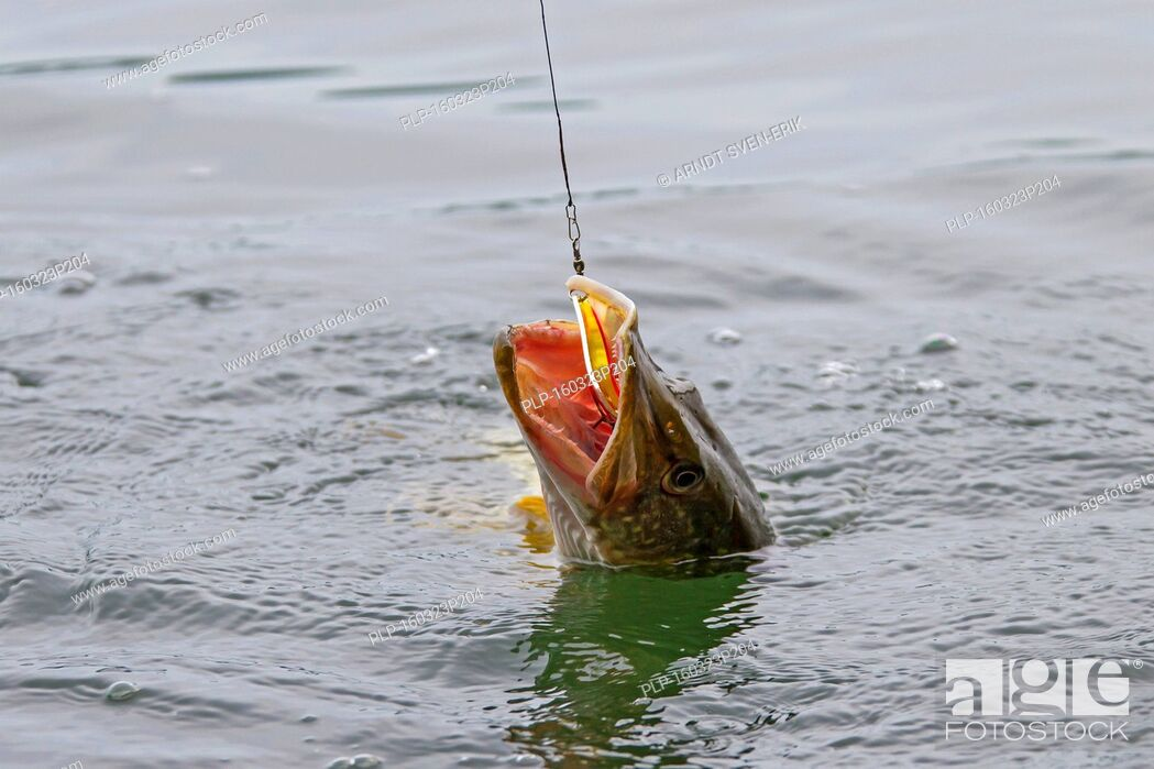 Imagen: Hooked Northern pike (Esox lucius) in lake caught with lure on a fishing line.