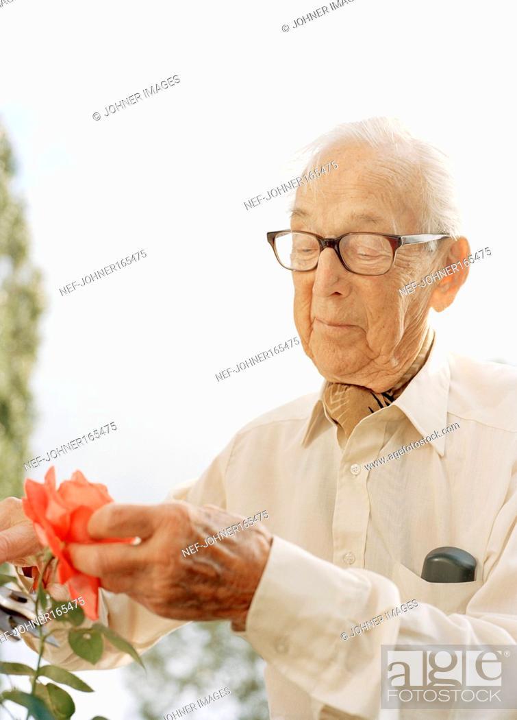 Stock Photo: An elderly man cutting off a rose.