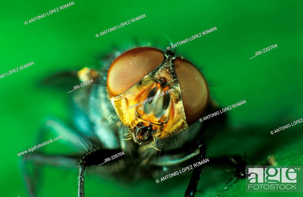 Stock Photo: Flesh fly (Sarcophaga carnaria).