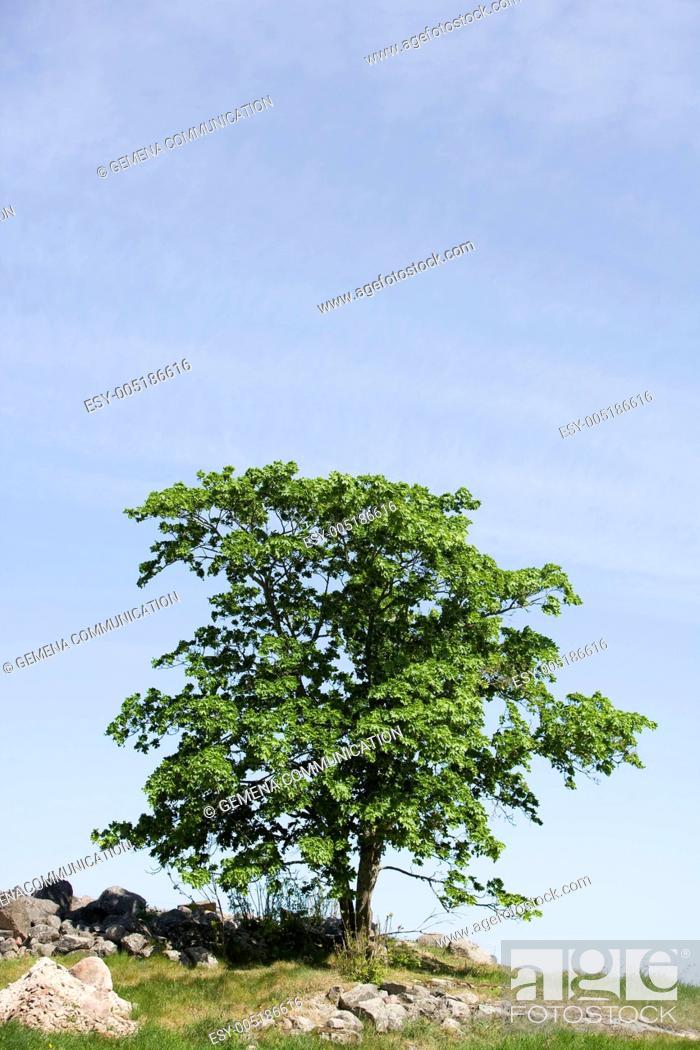 Stock Photo: Oak Tree.