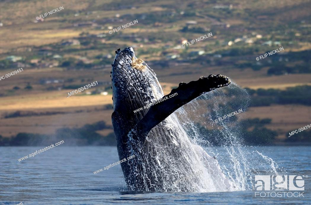 Stock Photo: Humpback Whale (Megaptera novaeangliae) breaching, Maui, Hawaii.