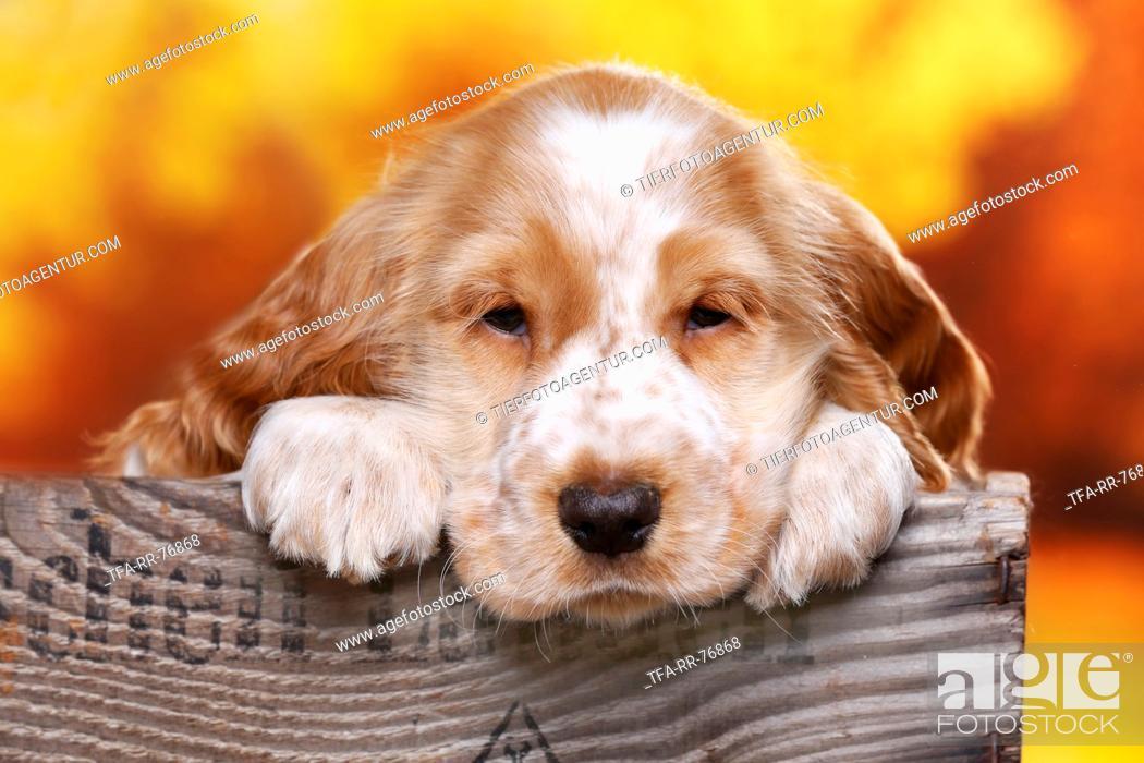 Stock Photo: English Cocker Spaniel puppy.