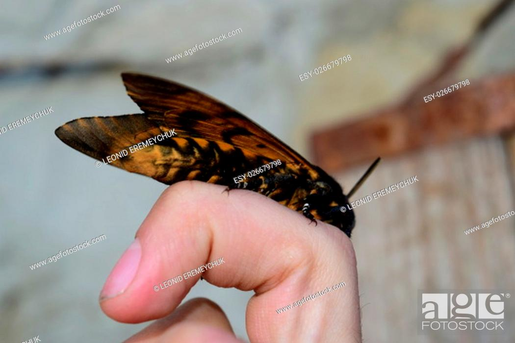 Stock Photo: Dead head. The large massive butterfly belonging to family of brazhnik. Night insect.