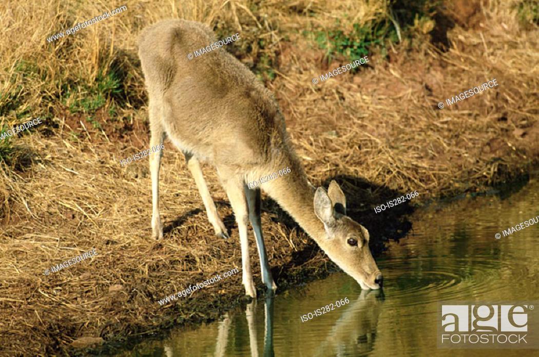 Stock Photo: Grey rhebok drinking.