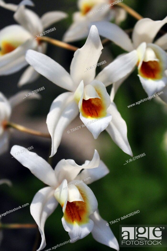 Stock Photo: Close-up of a white orchid in full bloom.