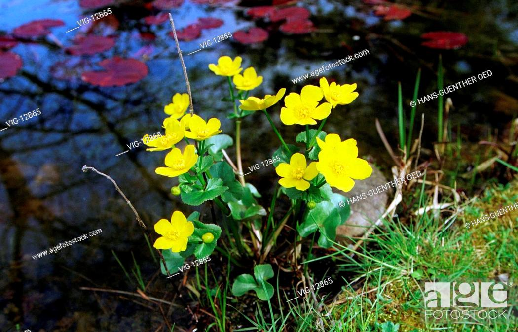 Stock Photo: Marsh marigold ( Caltha palustris ) at a pond. - UNKEL, GERMANY, 03/05/2001.