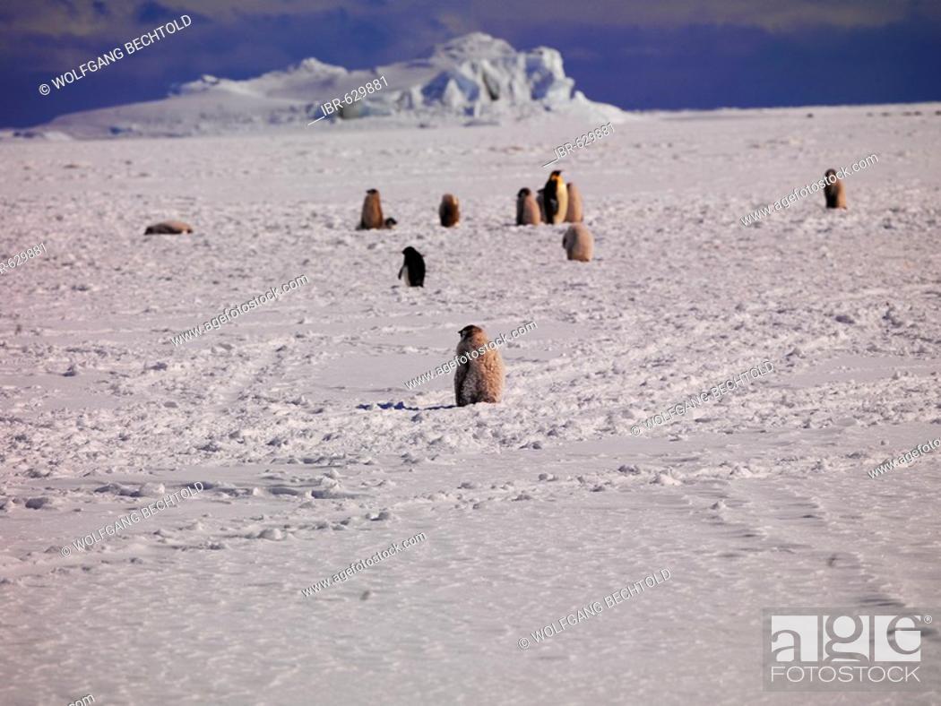 Stock Photo: Emperor Penguins (Aptenodytes forsteri) at Cape Washington, Ross Sea, Antarctic.