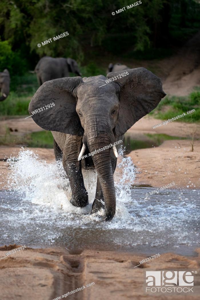 Stock Photo: An elephant, Loxodonta africana, runs through water towards camera, ears facing forward, splashes around legs.