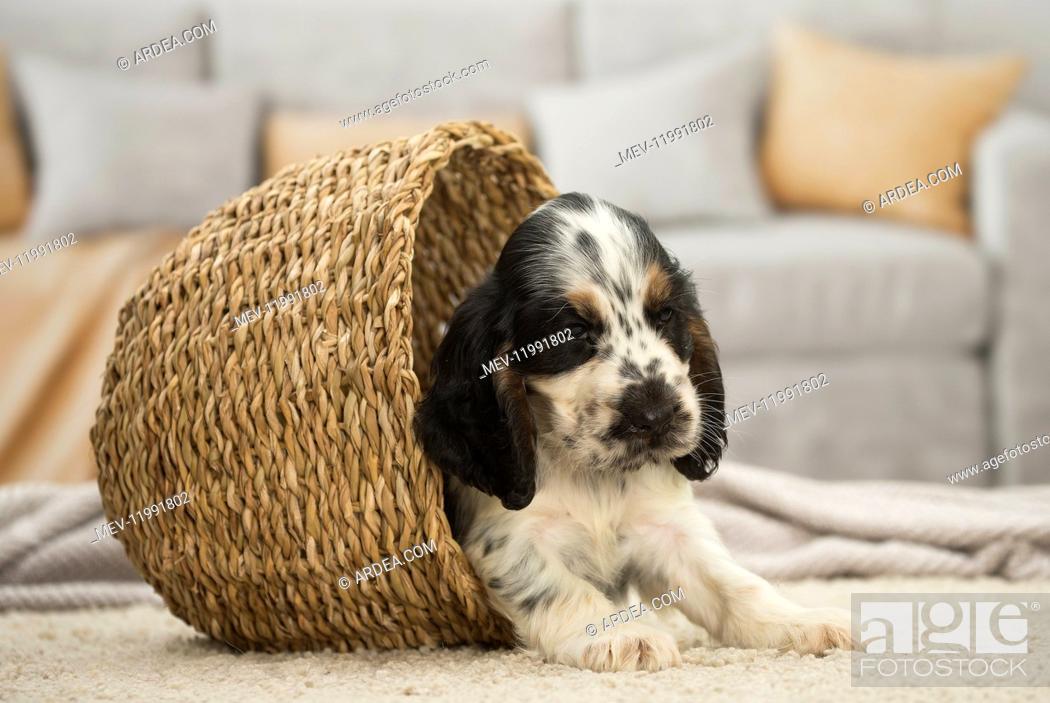 Stock Photo: English Cocker Spaniel Dog, puppy English Cocker Spaniel Dog, puppy.
