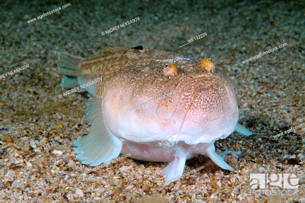 Stock Photo: Atlantic stargazer (Uranoscopus scaber) Black Sea, Crimea, Ukraine, Eastern Europe.