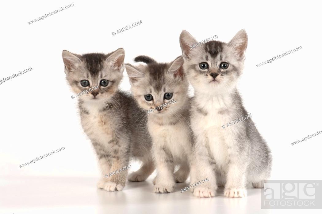 Stock Photo: CAT. sliver kittens ( 6 wks old ) on white background.