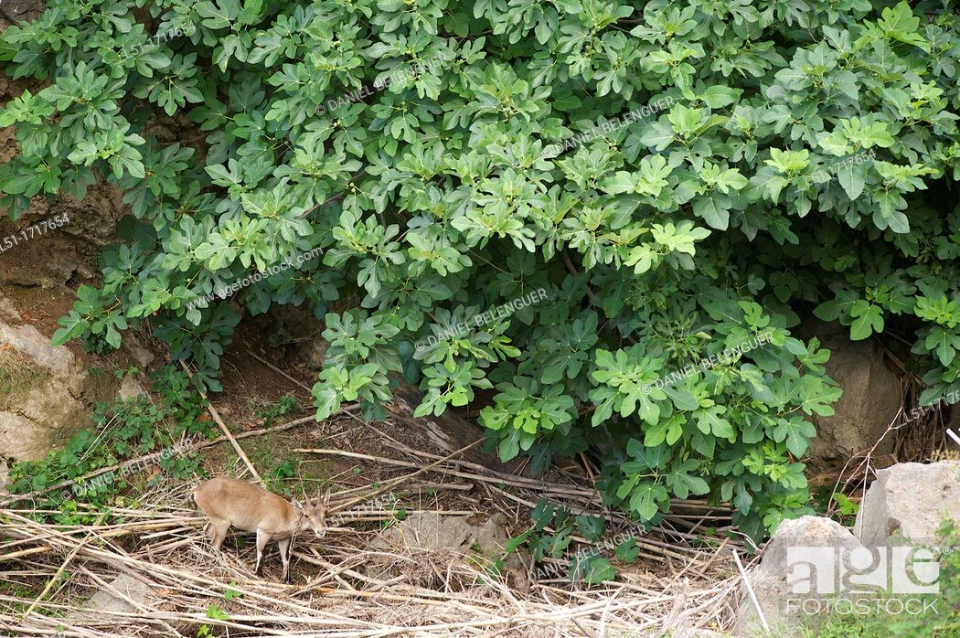 Stock Photo: Mountain goat capra hyspanica feeding under a fig tree, Argelita, Ludiente, Castellón, Spain.