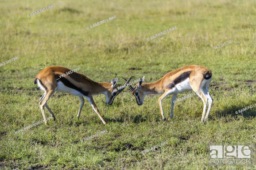 Imagen: Thomsons Gazelle, Eudorcas thomsonii, fighting, Masai Mara National Reserve, Kenya, Africa.