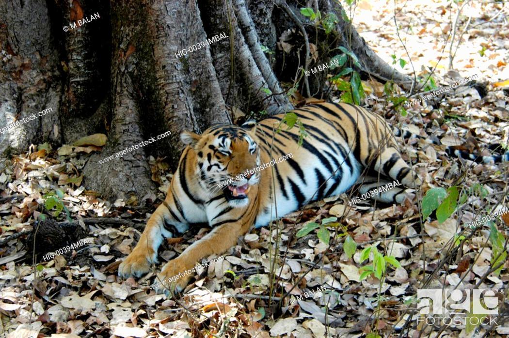 Stock Photo: ROYAL BENGAL TIGER IN KANHA NATIONAL PARK, MADHYA PRADESH.
