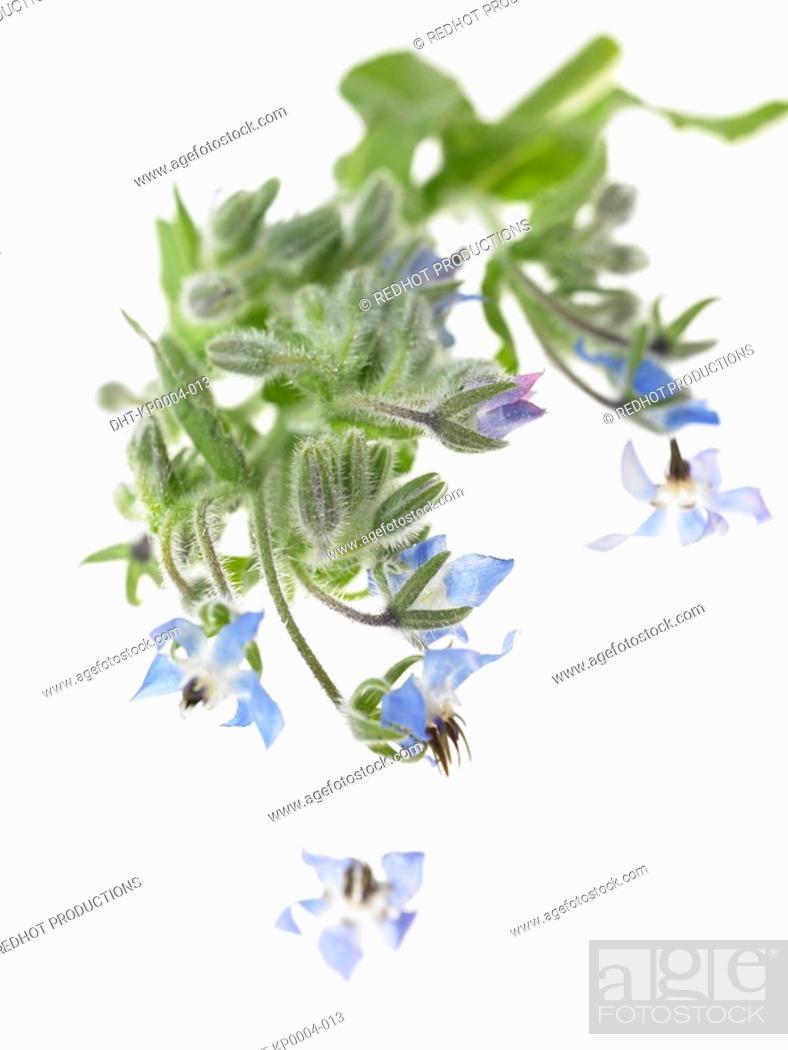 Stock Photo: Raw Food, Herbs, Borage.