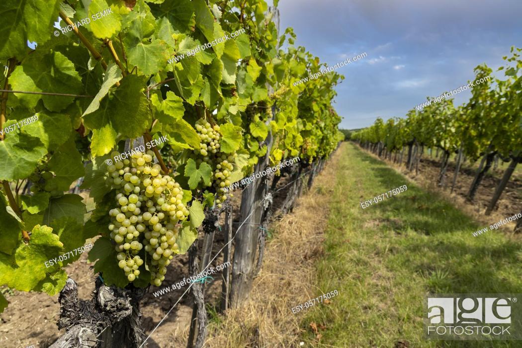 Stock Photo: Grapes yellow muscat in Tokaj region, Unesco site, Hungary.