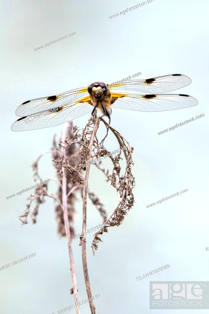 Stock Photo: Four-spotted Chaser (Libellula quadrimaculata) on a dry stalk. Austria.