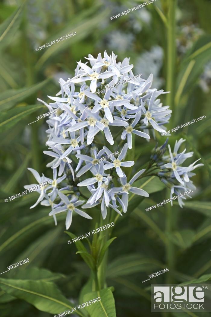 Stock Photo: Blue star (Amsonia tabernaemontana). Called Easten bluestar also.