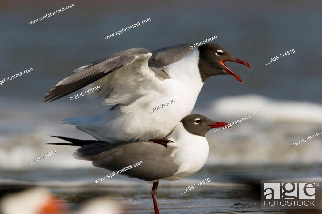 Stock Photo: Laughing Gulls (Leucophaeus atricilla).