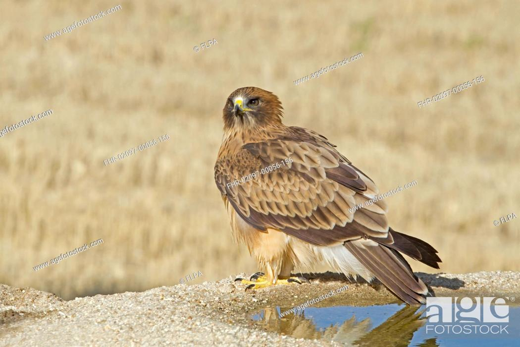 Stock Photo: Booted Eagle (Hieraaetus pennatus) pale morph, standing beside drinking pool, Castilla y Leon, Spain, August.