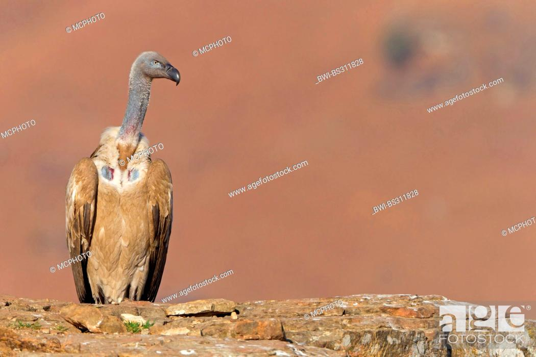 Stock Photo: Cape vulture (Gyps coprotheres), sitting on a rock spur, South Africa, Kwazulu-Natal.