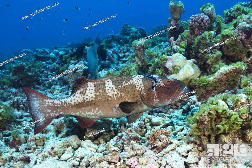 Stock Photo: Saddleback Coral Trout at Cleaning Station, Plectropomus laevis, Fakarava, Tuamotu Archipel, French Polynesia.