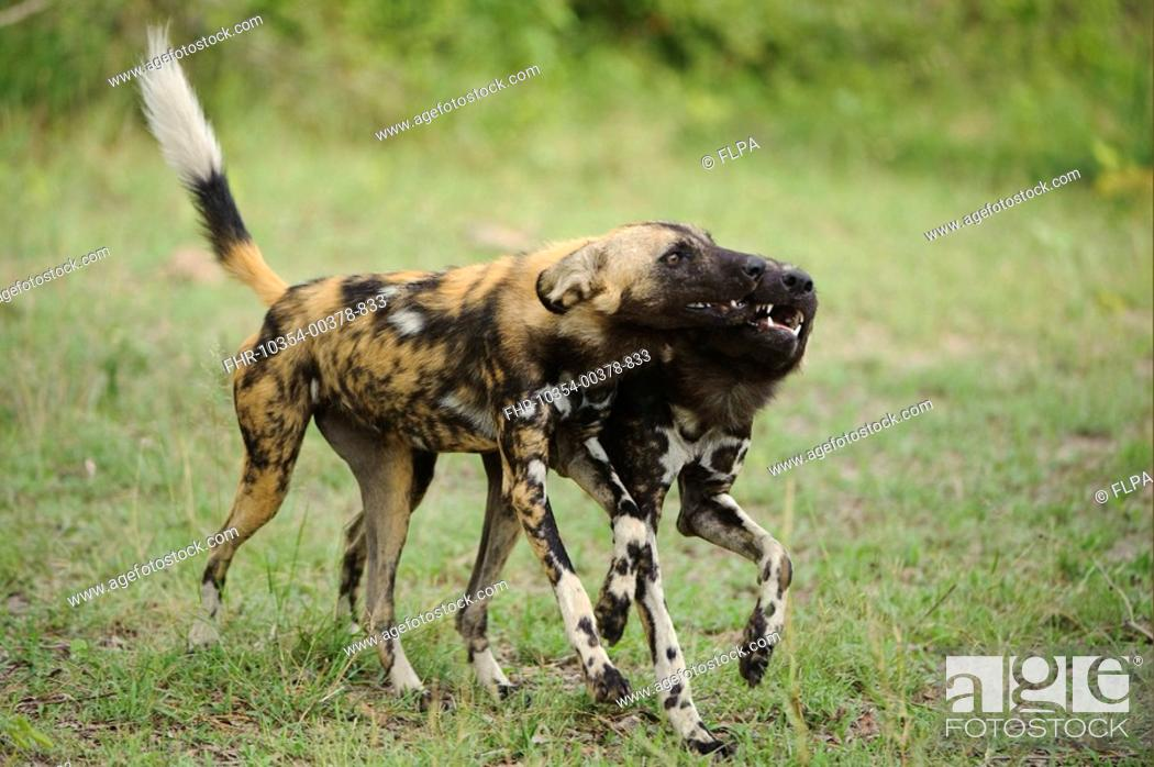 Stock Photo: African Wild Dog Lycaon pictus adult with pup, begging for food, Kwando Lagoon, Linyanti, Botswana.
