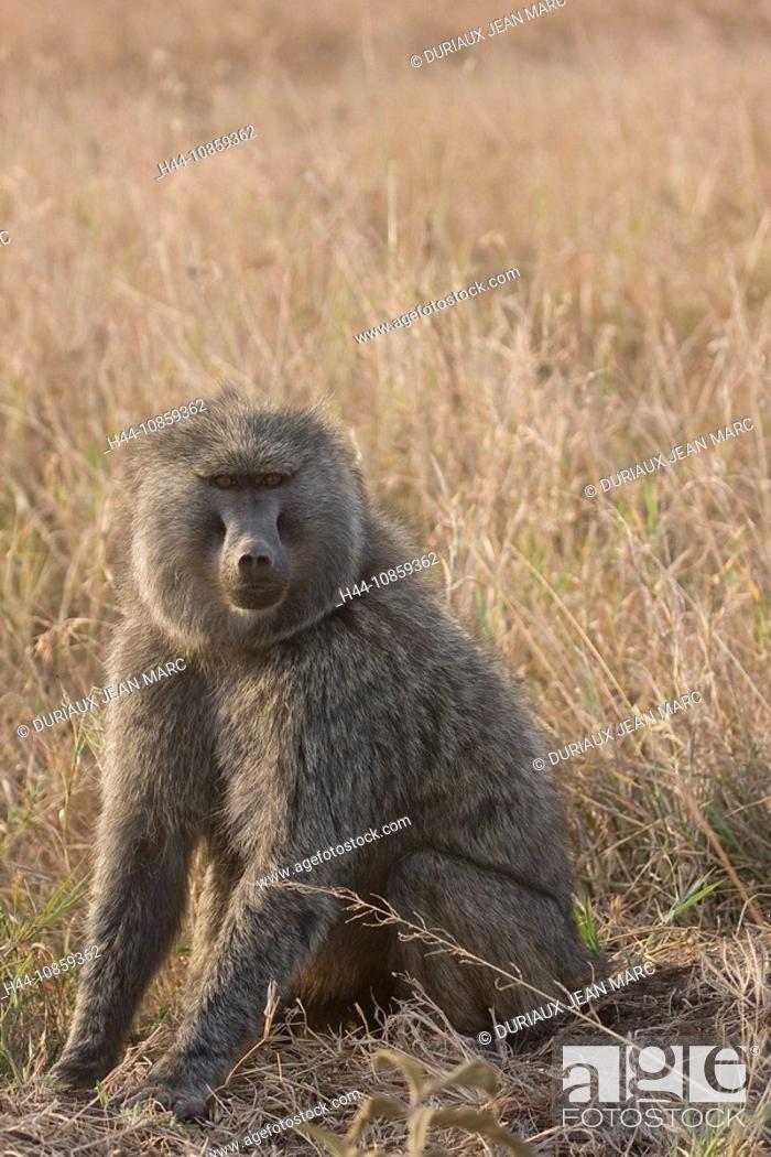 Stock Photo: Tanzania, Africa, Baboon, Pavio, monkey, one anima.