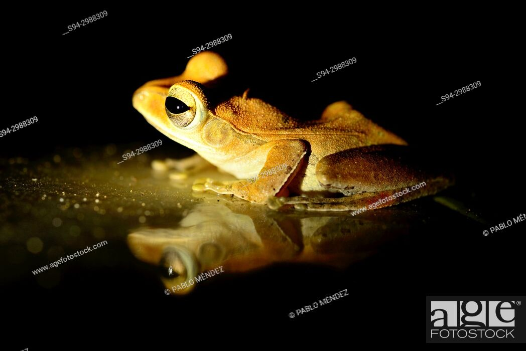 Imagen: Shrub frog (Polypedates leucomystax) in Sambuk hill, Sambuk, Kratie province, Cambodia.