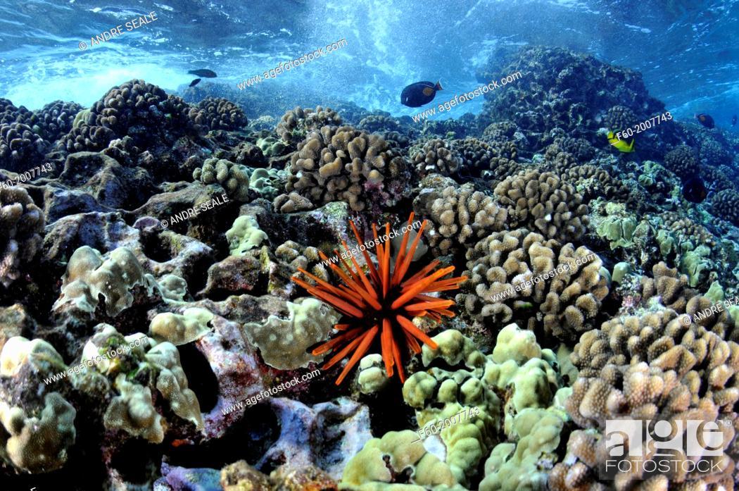 Stock Photo: Waves crash on a healthy coral reef with a red slate pencil urchin, Heterocentrotus mamillatus, Molokini, Maui, Hawaii, USA.