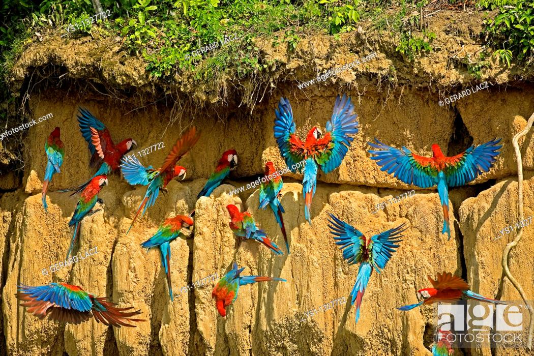 Stock Photo: RED-AND-GREEN MACAW ara chloroptera, GROUP EATING CLAY, CLIFF AT MANU NATIONAL PARK, PEROU.