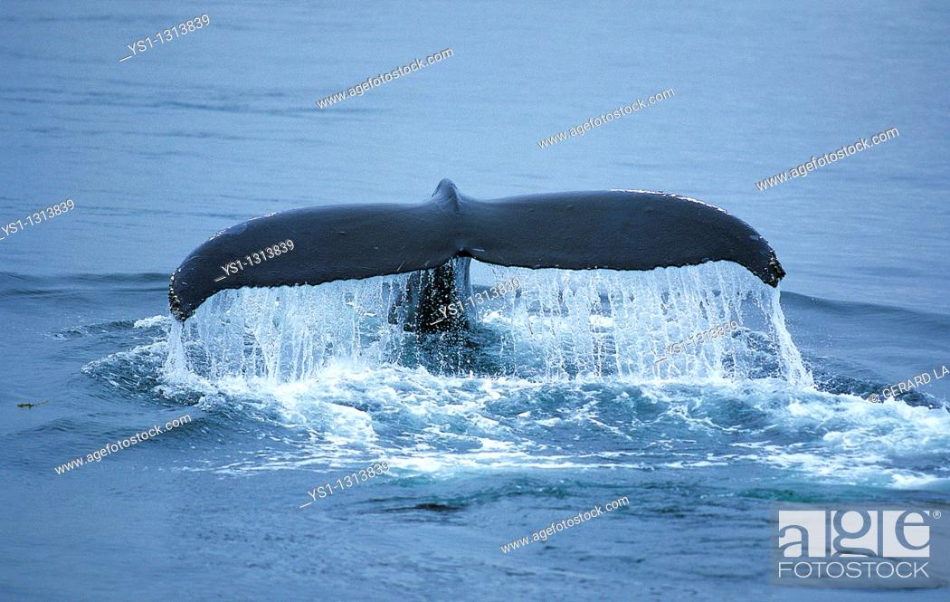 Stock Photo: HUMPBACK WHALE megaptera novaeangliae, ALASKA.