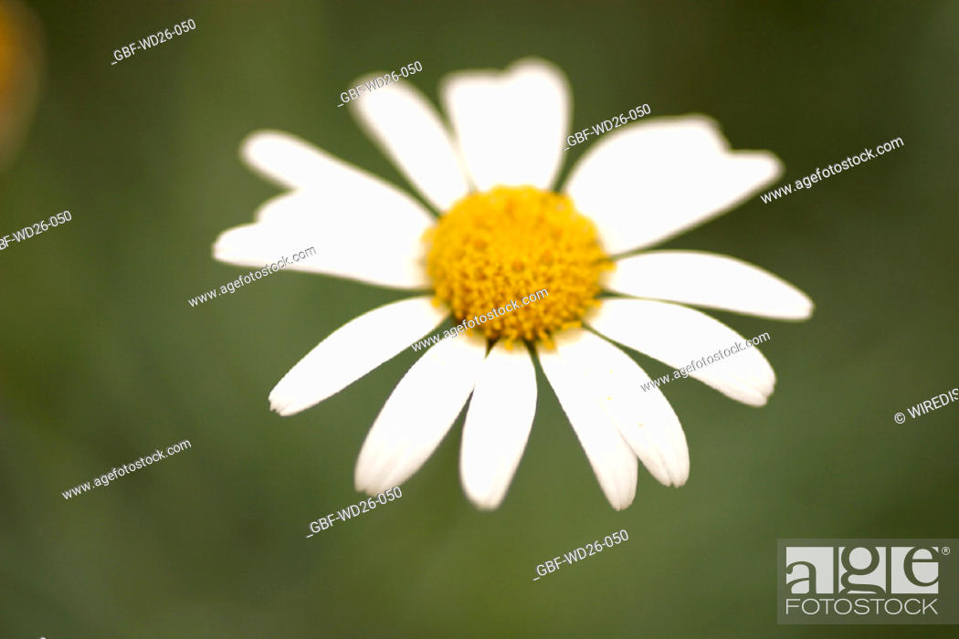 Stock Photo: Flowers, daisy, nature.
