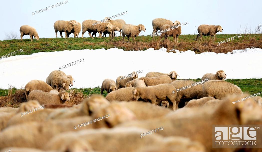 Stock Photo: A herd of sheep can be seen in a field near Dentingen, Germany, 02 February 2017. Photo: Thomas Warnack/dpa | usage worldwide.
