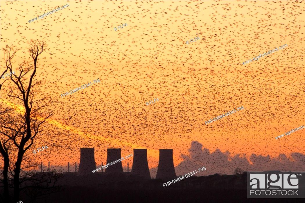 Stock Photo: Common Starling Sturnus vulgaris huge flock gathering to roost at sunset, factory cooling towers, England, winter.