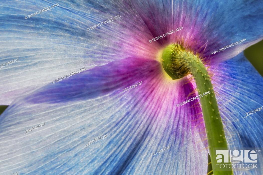 Stock Photo: Blue Poppy Flower Backside.