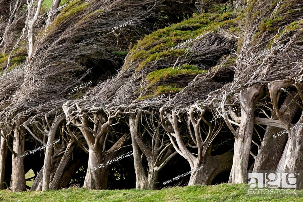 Stock Photo: blocked for illustrated books in Germany, Austria, Switzerland: Wind sculpted trees, macrocarpa trees, Slope Point, Catlins.