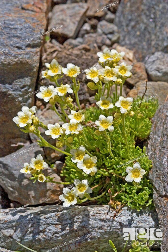 Imagen: Musky saxifrage (Saxifraga moschata, Saxifraga exarata ssp. moschata), blooming between rocks, Germany.