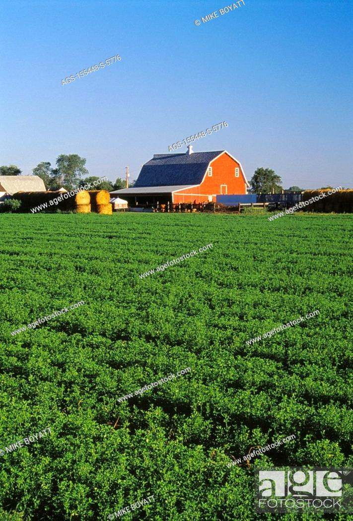Agriculture - A healthy mature field of alfalfa with a red ...
